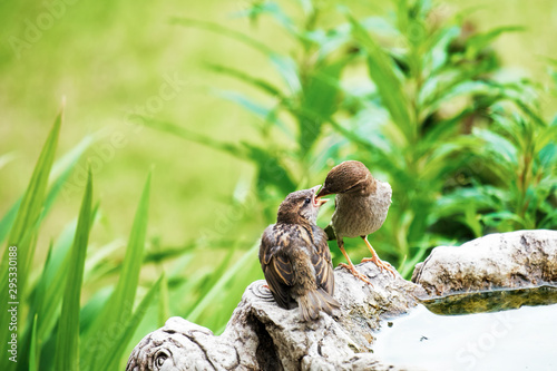 Foto Sparrow feeding a fledgling