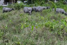 Many Buffalo Walking In The Gr...