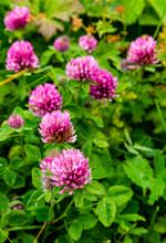 Trifolium Pratense Flower With...