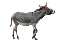 Donkey Isolated On White Background