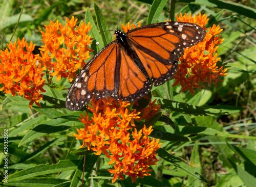 Vászonkép Monarch butterfly danaus plexippus with open wings pollinates orange milkweed