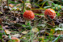 Two Fly Agaric Mushrooms (amanita Muscaria) On The Forest Floor