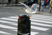 Seagull Stealing Some Food (ru...