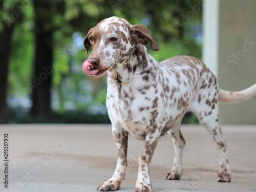 Foto  Kleiner braun gefleckter Hund, der sich mit der Zunge über das Maul leckt