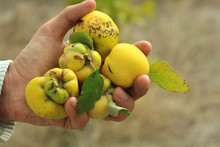 Young Quince In A Male Hand In...