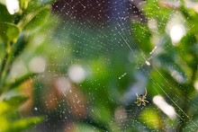 Spider Web In The Bush With Bokeh Background