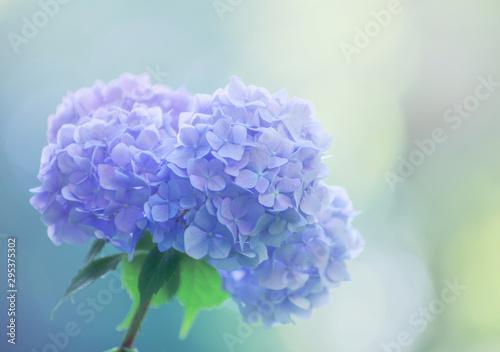 Fotografiet Blue hydrangea flowers close up