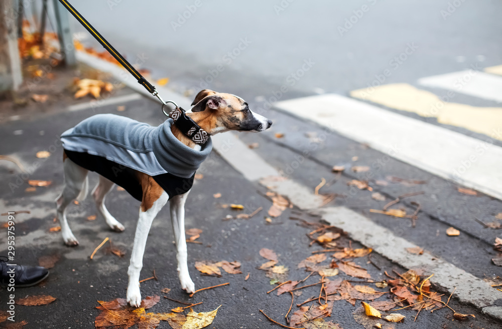 Fototapeta Cold season scene with cute thoughtful whippet puppy dressed in gray sport sweatshirt. Autumn melancholy concept, dull windy weather, city everyday life. Interesting uncommon background for design.