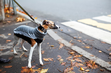 FototapetaCold season scene with cute thoughtful whippet puppy dressed in gray sport sweatshirt. Autumn melancholy concept, dull windy weather, city everyday life. Interesting uncommon background for design.