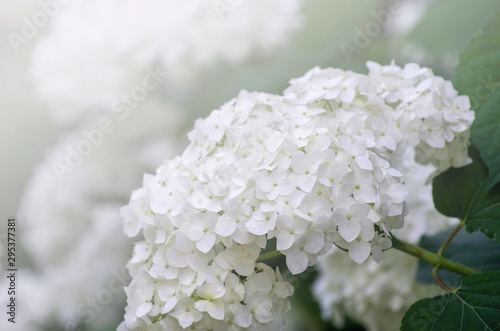 Photographie Blooming white hydrangea plants in full bloom