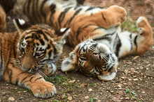 Two Little Tiger Cubs Outdoors...