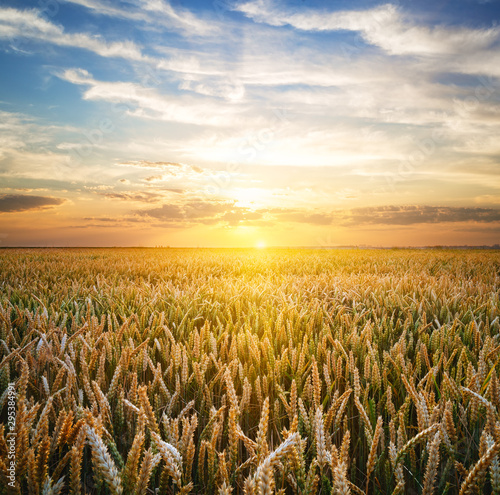 obraz lub plakat Wheat field at the sunset