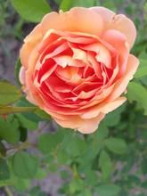 Rose, Flower Orange, Bush In The Garden Summer