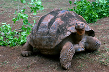 Crawling Tortoise Searches For...