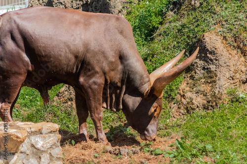 Fotografía a watusi enjoying in its enclosure