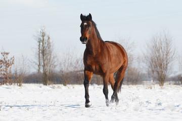 Braunes Pferd galoppiert im Schnee