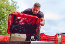 Young Farmer At The Winery Unload The Truck Or Tractor Trailer With Plastic Boxes Grape Fruit Containers To The Squeeze Machine In Wine Making Process After The Harvest