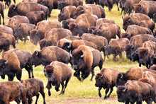 Bufflo (American Bison) Round-up, Black Hills, SD - Close