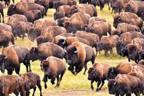 Tela  Bufflo (American Bison) round-up, Black Hills, SD - close