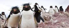 Pingüino De Penacho Amarillo ...