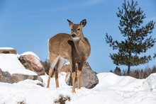 A Deer In The Snow On A Sunny Day
