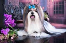 Dog Biewer Yorkshire Terrier A...