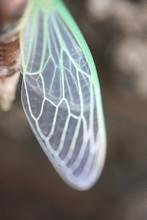 Wing Of A Rare Cicada, Close-up