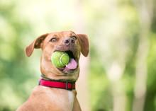 A Vizsla Mixed Breed Dog Weari...