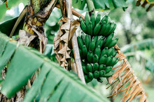 Close Up Of Bunch Of Ripening Bananas On Tree In The Tropical Rainforest. Banana Is The World's Largest Herb. Horizontal Shot. Selective Focus.