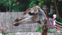 Eating Giraffe's Food In An Open Zoo
