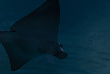Manta Ray Swimming In Blue Waters Under Lights