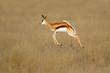 canvas print picture - Jumping springbok antelope (Antidorcas marsupialis) in natural habitat, South Africa.