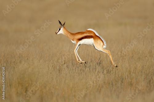 Spoed Fotobehang Antilope Jumping springbok antelope (Antidorcas marsupialis) in natural habitat, South Africa.