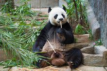Big Panda Male At Breakfast. C...