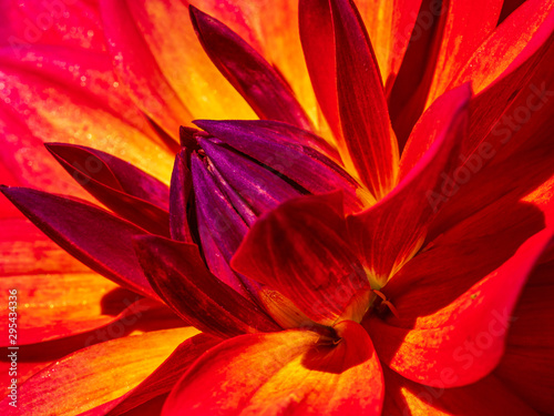 Door stickers Macro photography Red Dalia in close up view with red and purple colors