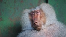 Portrait Of A Funny Shy Hamadryas Baboon In A Zoo Cage. Close Up.