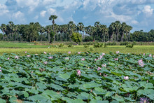 Water Lilies In A Pond, Cambod...
