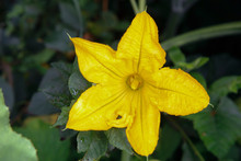A Yellow Pumpkin Blossomed In ...