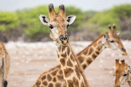 Close up of a curious giraffe looking into the camera, Etosha, Namibia, Africa Wallpaper Mural