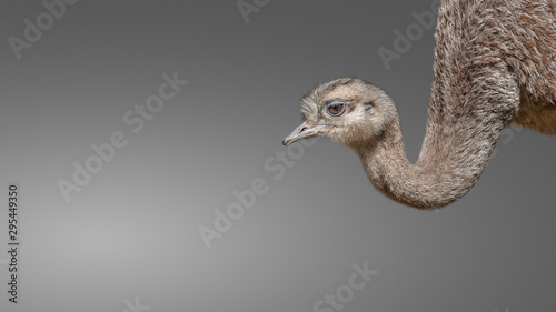 Fotobehang Struisvogel Young and funny Patagonian ostrich Rhea isolated at smooth background, details, closeup