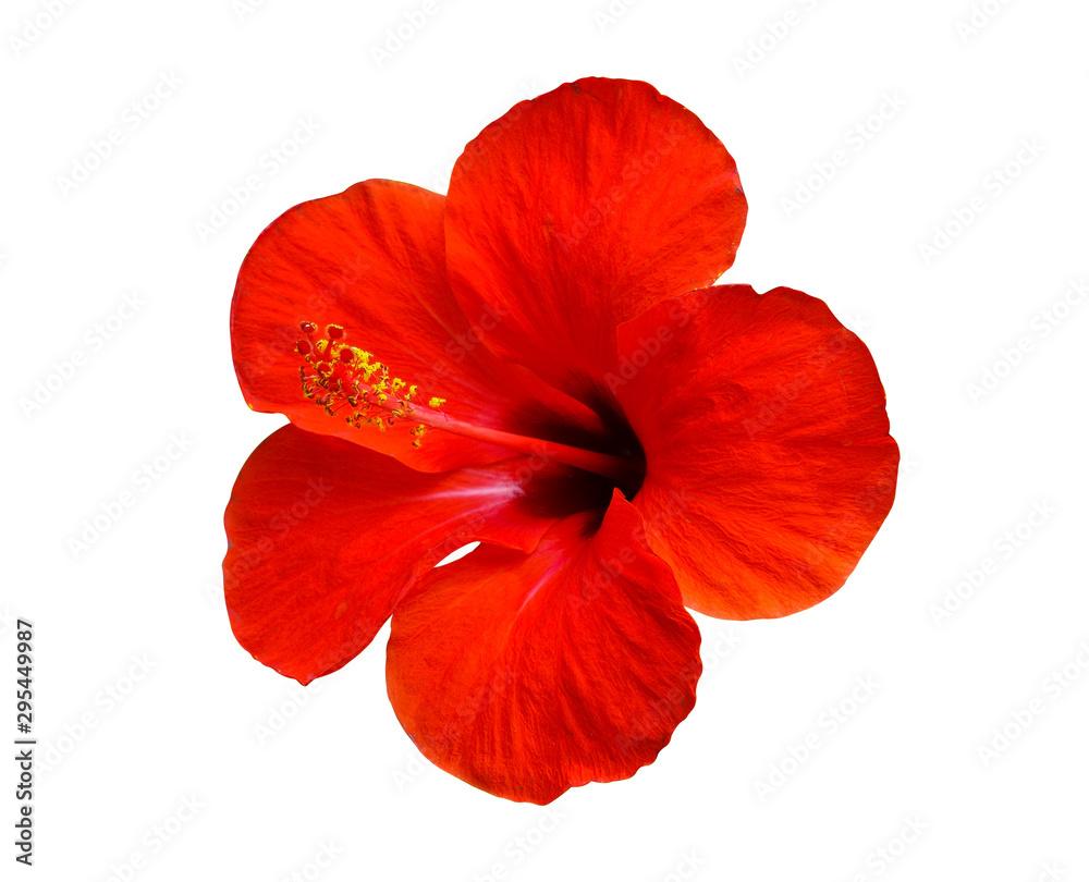 Fototapeta red hibiscus flower isolated on white background