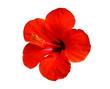 Leinwandbild Motiv red hibiscus flower isolated on white background