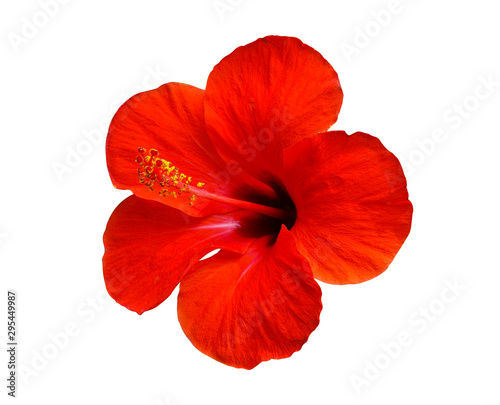 Garden Poster Floral red hibiscus flower isolated on white background