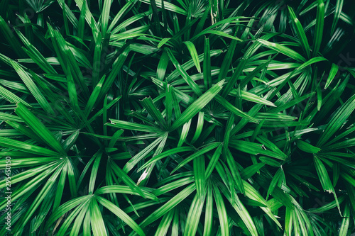 Fotomural  tropical leaf, dark green foliage in rainforest, nature background