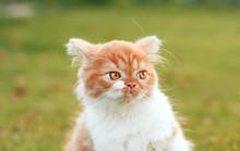 Angry Ginger Kitten Looks Awa...
