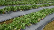 Strawberry Garden At Doi Ang-k...