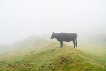 In Dense Fog And In Absolute Silence, One Is Disturbed Only By The Mooing Of The Cattle Grazing In The Meadows Of The Laurel Forest