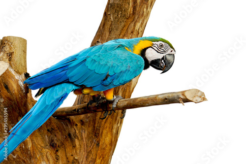Autocollant pour porte Perroquets Closeup blue parrot on a timber isolate on white background and make with clipping paths.