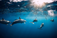 Dolphins Swimming Underwater In Ocean At Mauritius