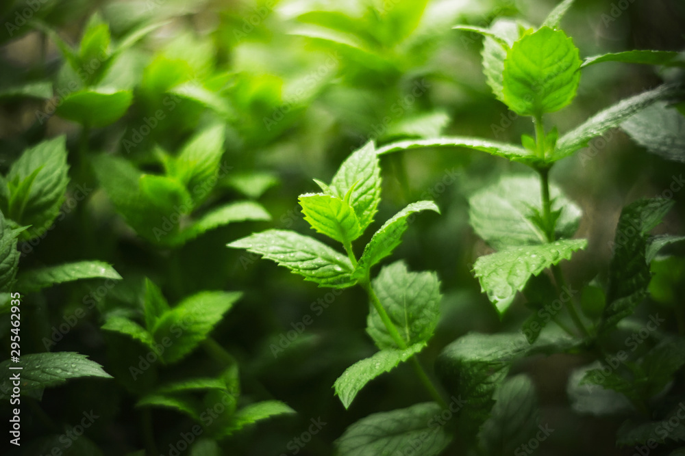 Fototapety, obrazy: Thickets of fragrant fresh mint, covered with dew drops and illuminated by a dim light.